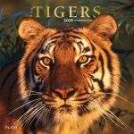 Tigers 2018 Square Wall Calendar Front Cover - Plato Calendars All Rights Reserved