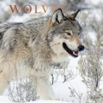 Wolves 2018 Square Wall Calendar Front Cover - Plato Calendars All Rights Reserved