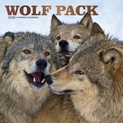 Wolf Pack 2020 12 x 12 Inch Monthly Square Wall Calendar with Foil Stamped Cover by Plato, Wildlife Animals