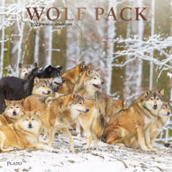 Wolf Pack 2022 12 x 12 Inch Monthly Square Wall Calendar with Foil Stamped Cover by Plato, Wildlife Animals
